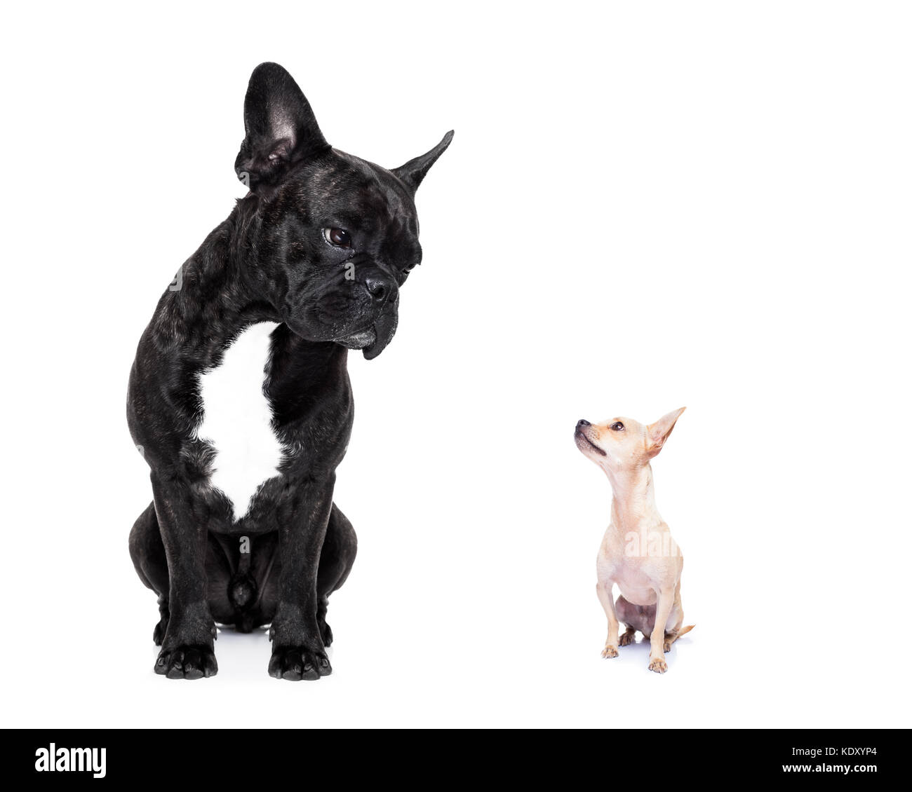 a big french bulldog and small tiny chihuahua dog looking at each other, feelings involved, isolated on white background - Stock Image
