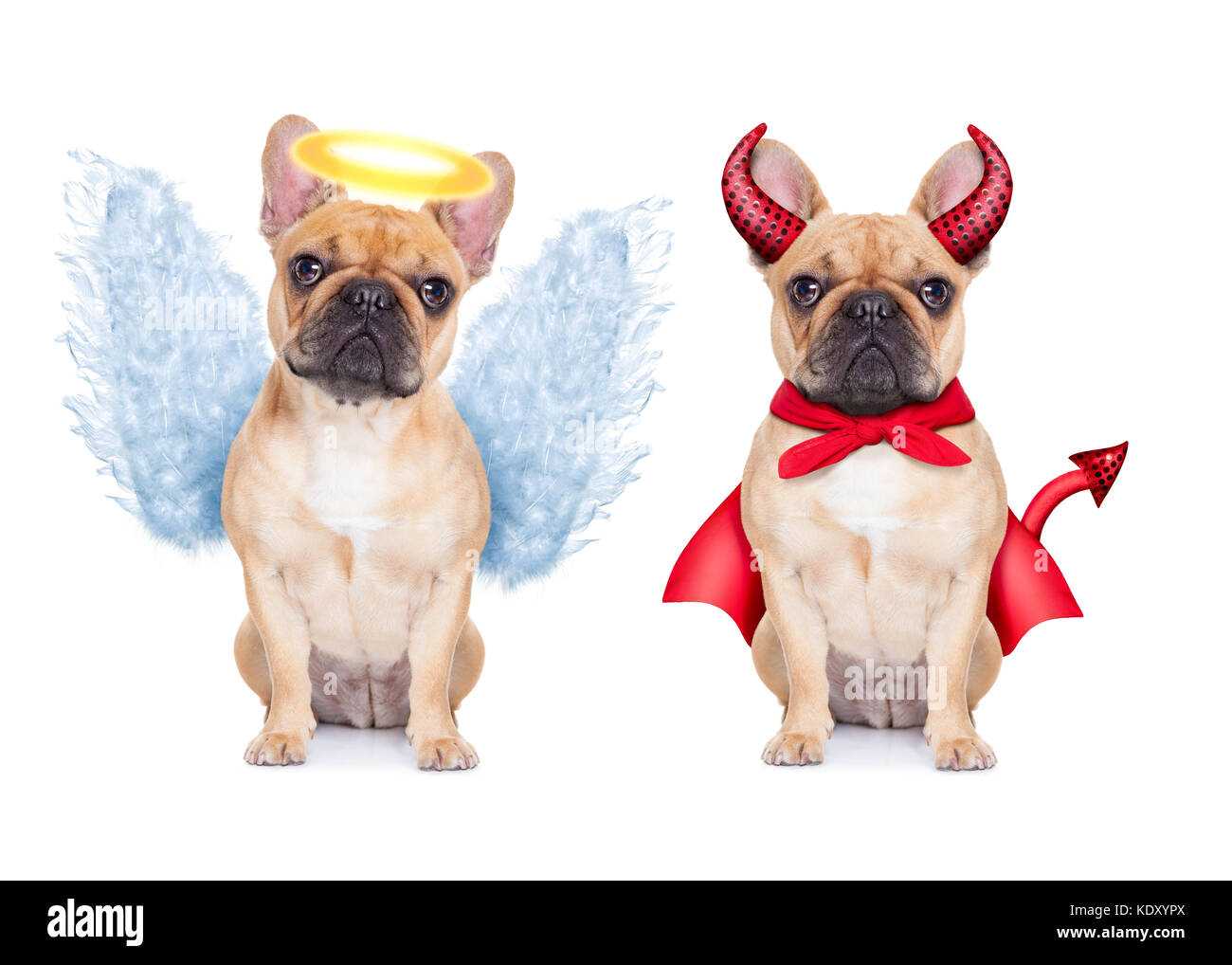 Devil and Angel fawn french bulldog dogs sitting side by side deciding between right and wrong , good or bad, isolated - Stock Image