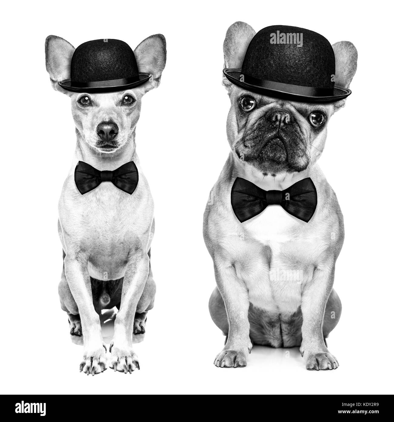 comedian classic couple of dogs wearing a bowler hat and black tie  isolated on white background.In black and white - Stock Image