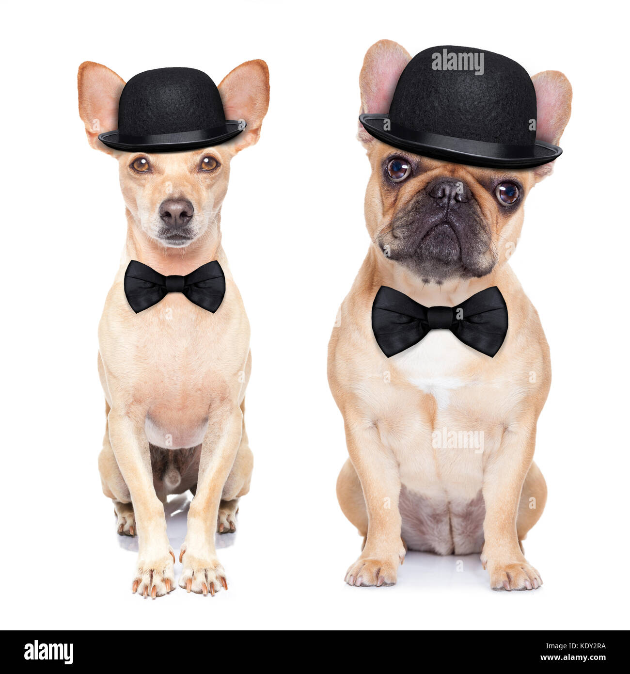 comedian classic couple of dogs ,wearing a bowler hat ,black tie and mustache, isolated on white background - Stock Image