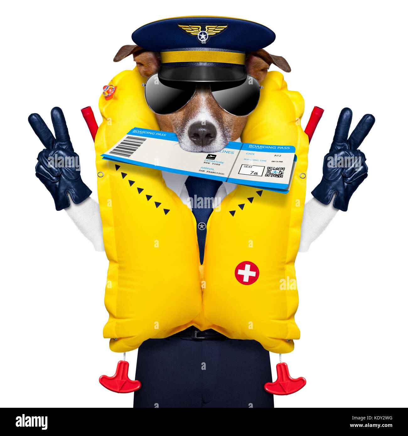 jack russell airline pilot or  flight attendant dog , with check in boarding pass ticket in mouth , isolated on - Stock Image