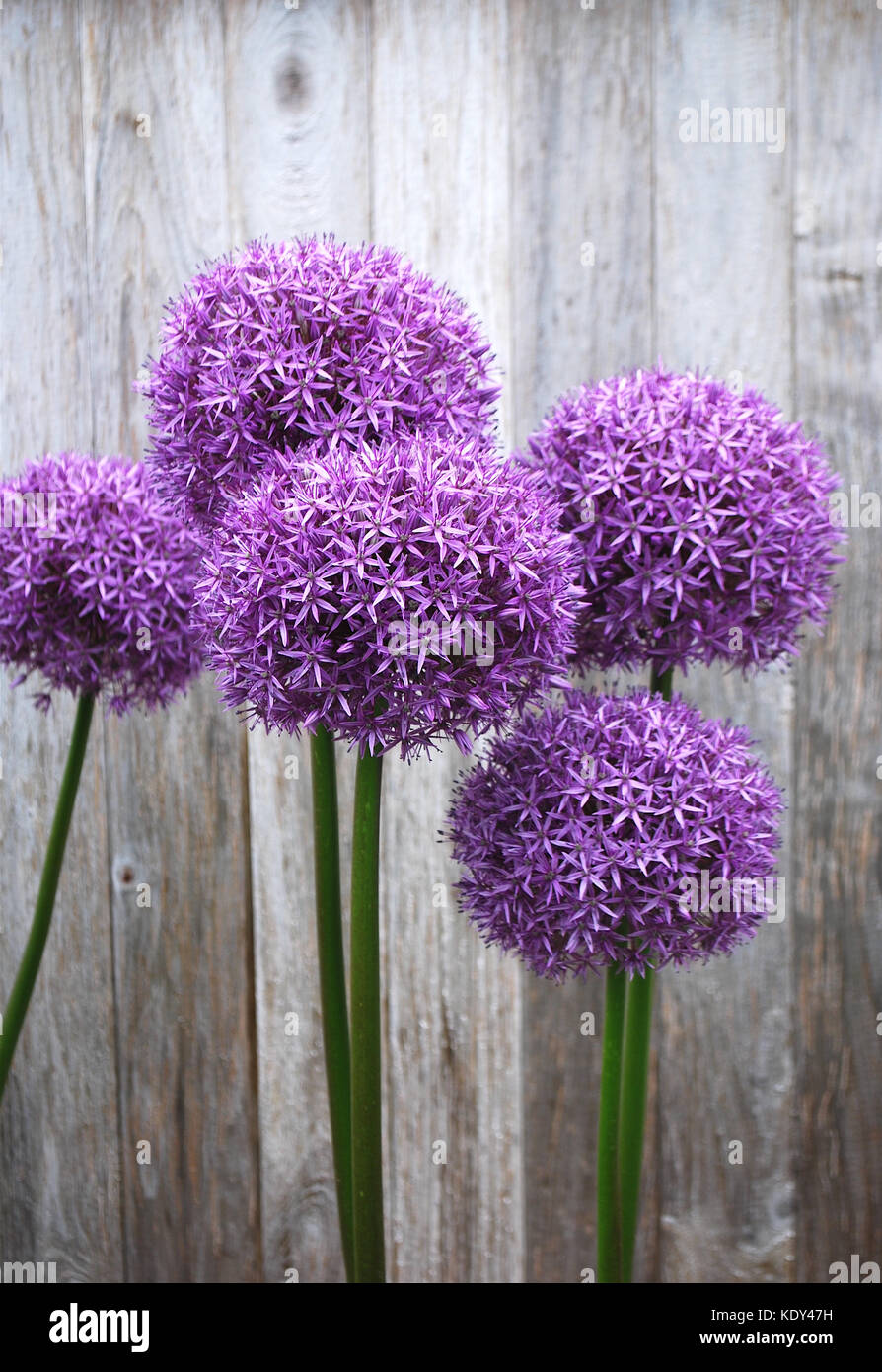 Allium blooming against a weathered fence Stock Photo