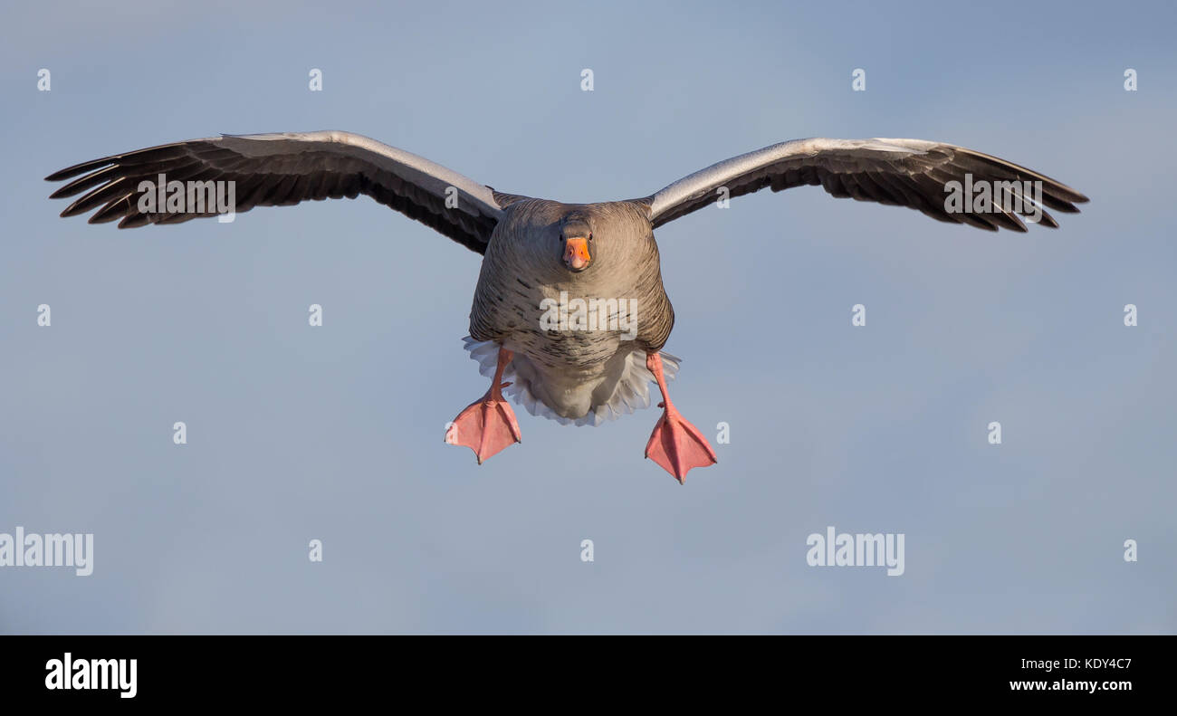 Landscape shot of single, adult greylag goose (Anser anser) in flight, on the approach, coming in for landing, feet - Stock Image
