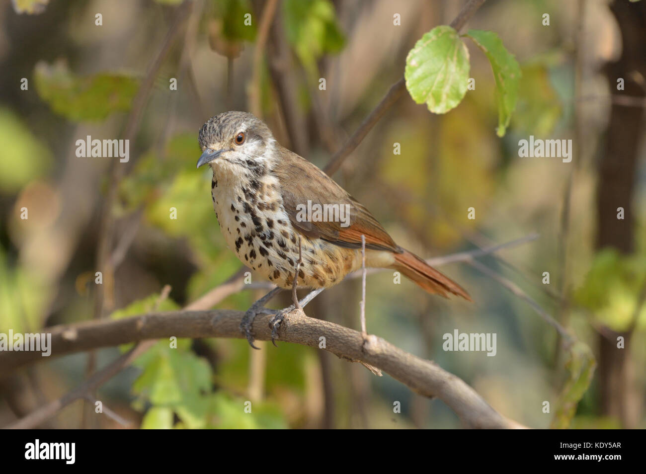Spotted Morning Thrush perched on branch - Stock Image