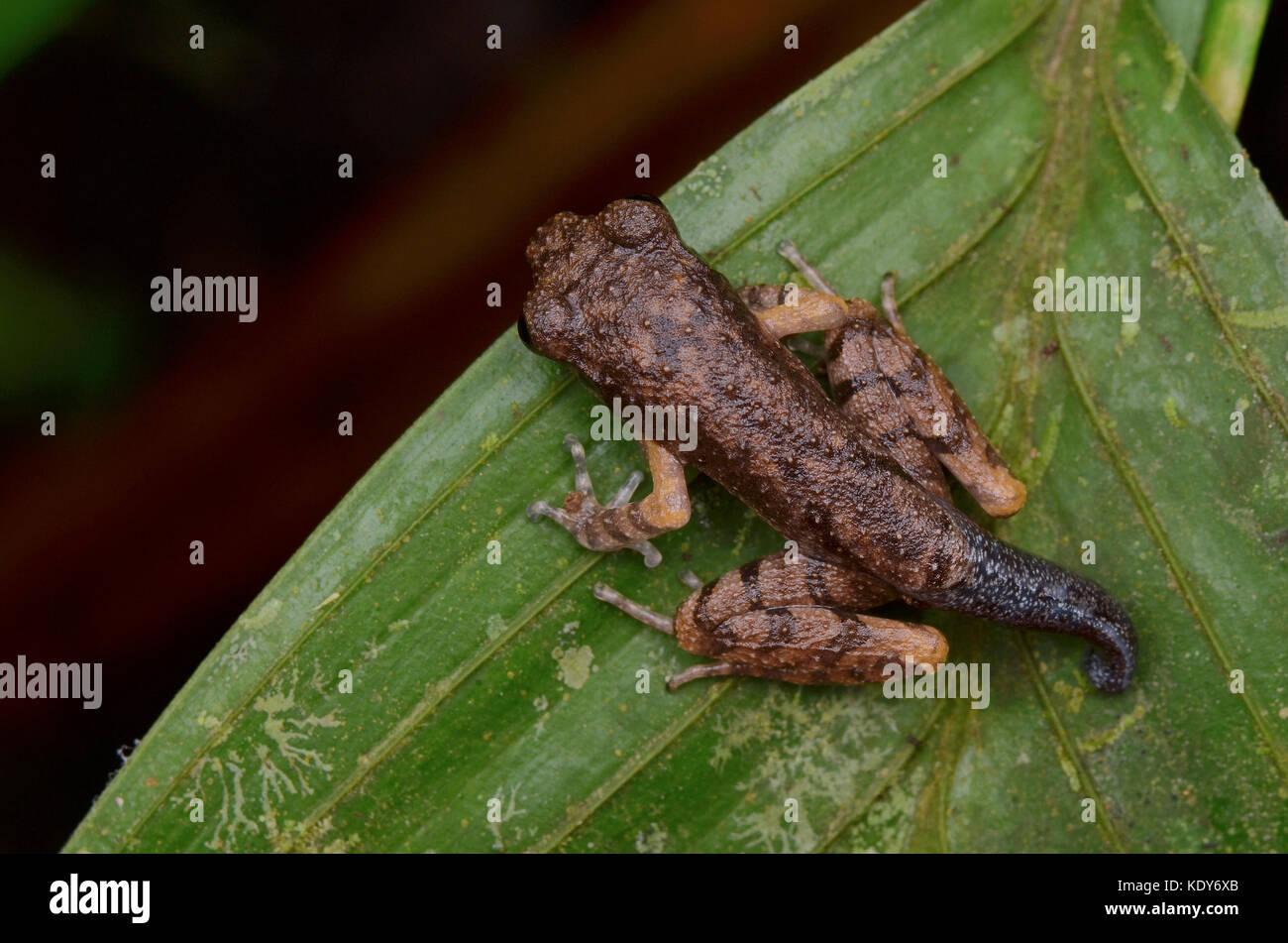 Mountain Slender Litter Frog Froglet Stock Photo