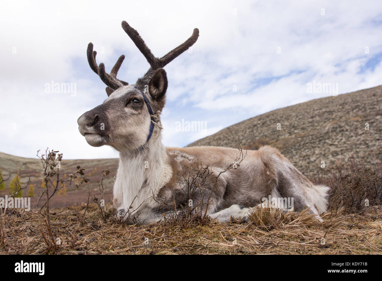 Portrait of a young reindeer sleeping on an autumn morning. Khuvsgol, Mongolia. - Stock Image