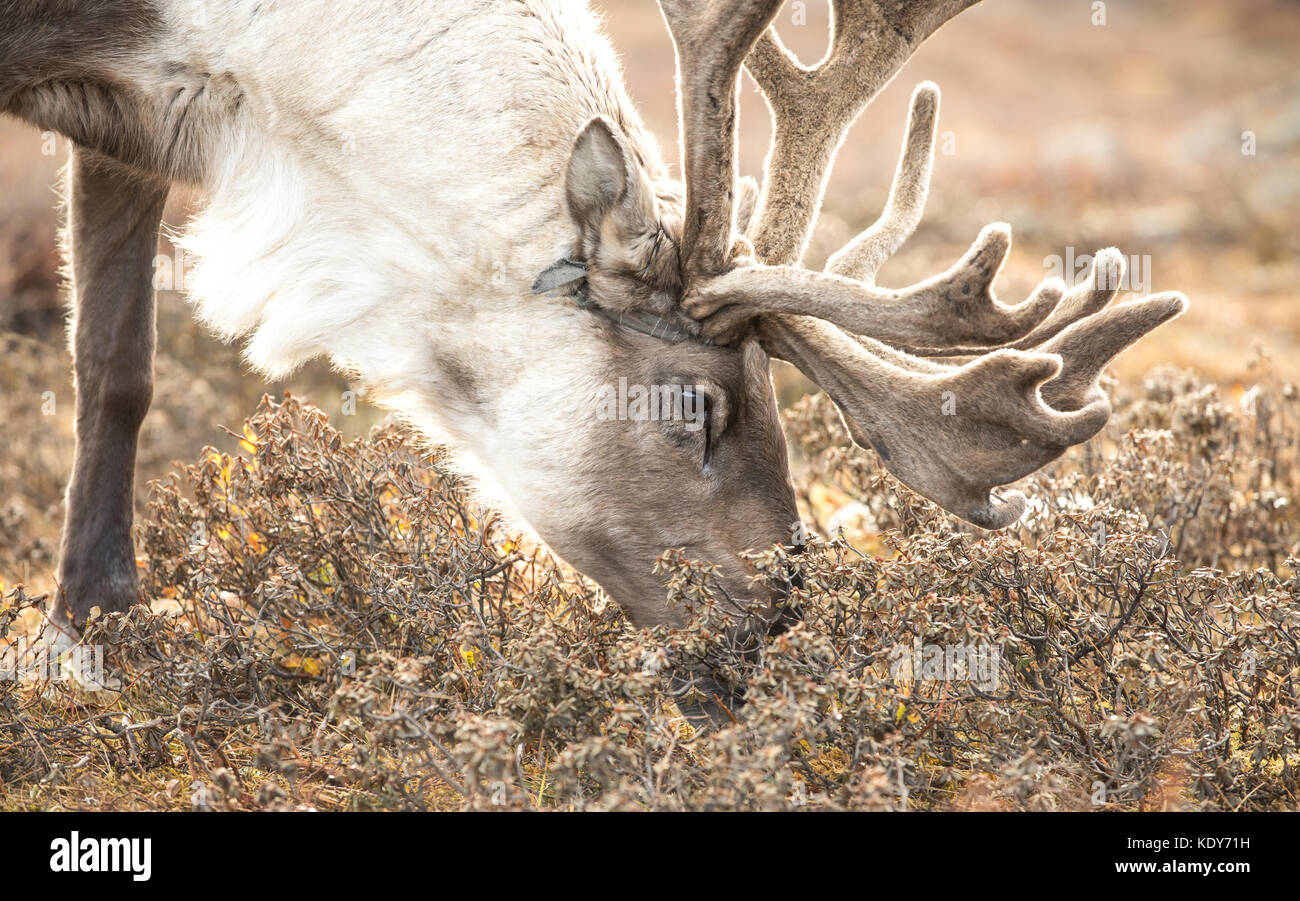 Portrait of a reindeer in its natural taiga habitat on a glowing autumn afternoon. Khuvsgol, Mongolia. - Stock Image