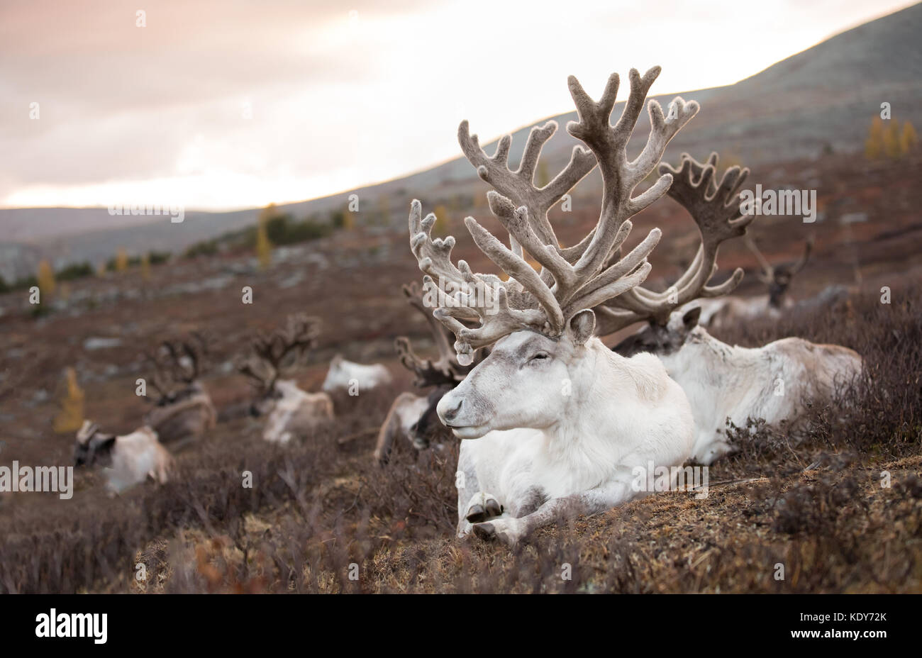 Portrait of a old reindeer with magnificent antlers sleeping on an autumn morning. Khuvsgol, Mongolia. - Stock Image
