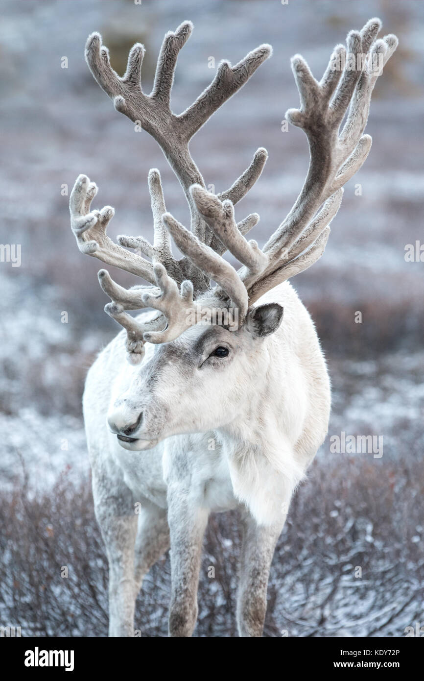 Portrait of a majestic white reindeer in its natural taiga habitat on a snowy day. Khuvsgol, Mongolia. - Stock Image