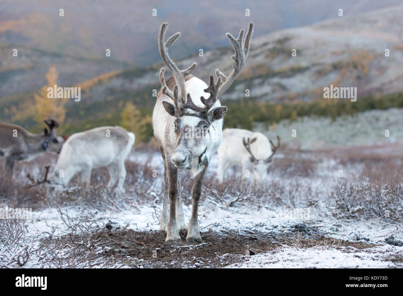 Portrait of a reindeer in its natural taiga habitat on a snowy day. Khuvsgol, Mongolia. - Stock Image