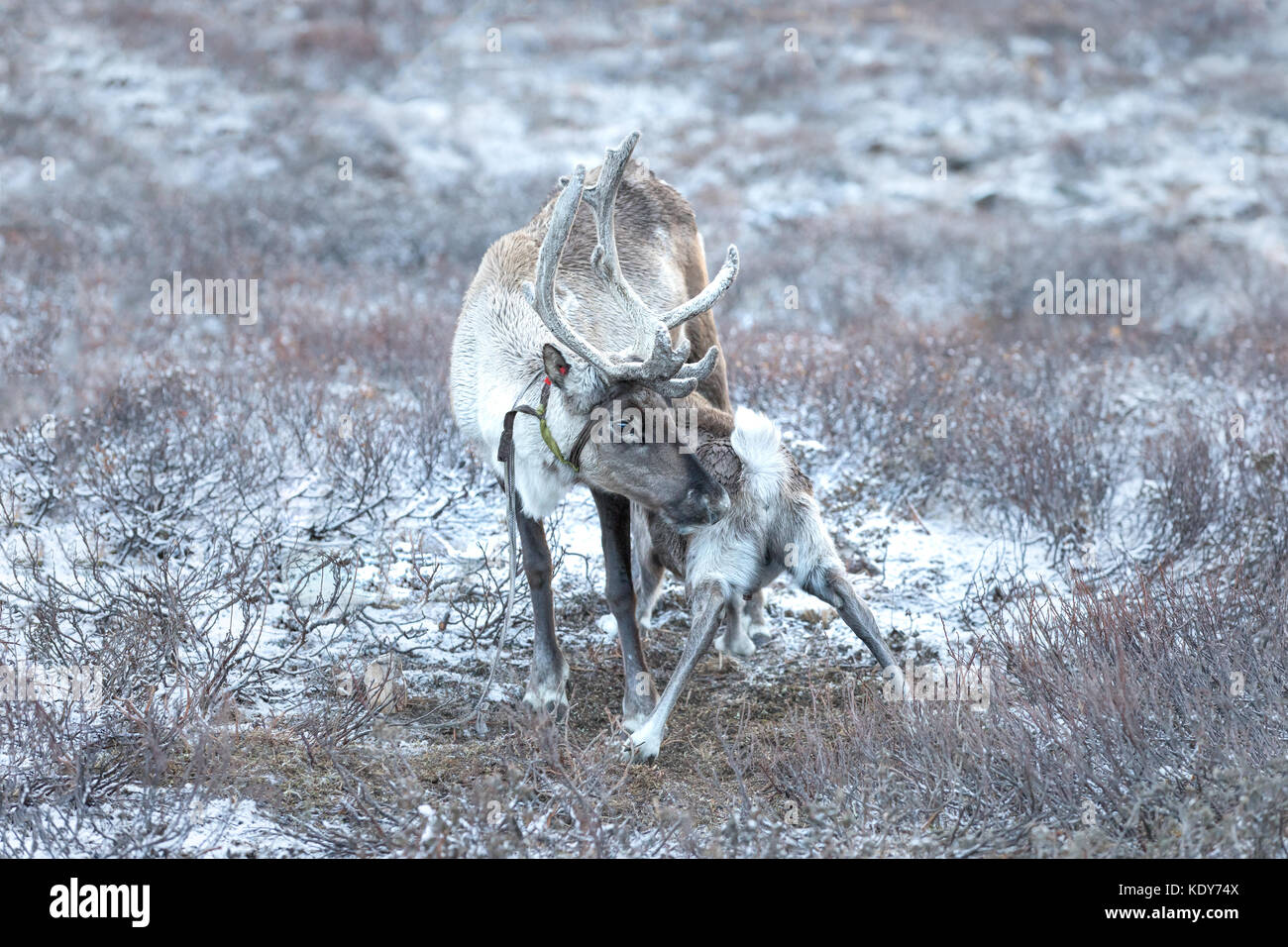 Portrait of a baby reindeer suckling on its mother. Khuvsgol, Mongolia. - Stock Image