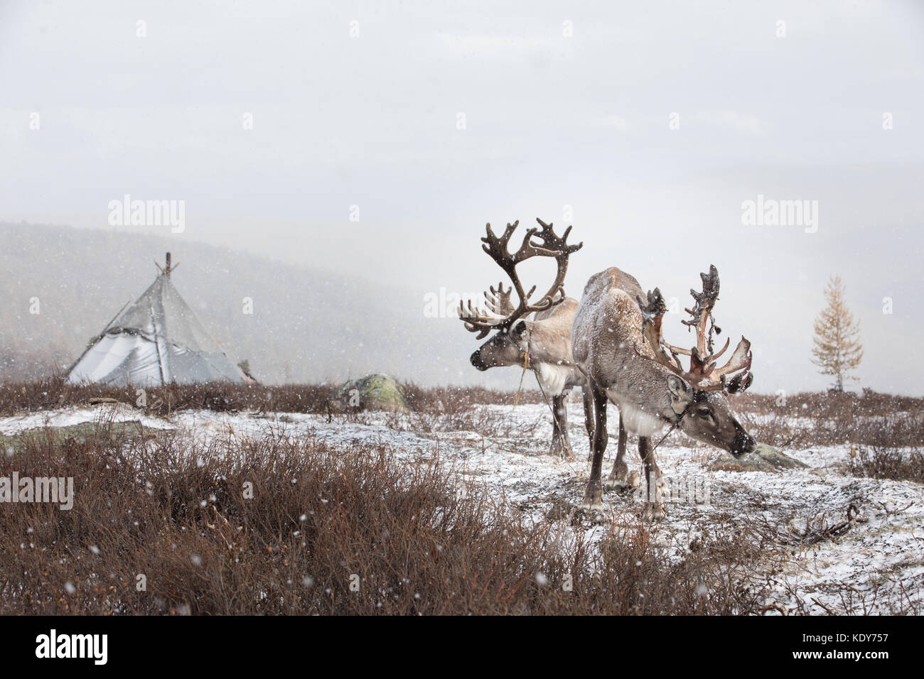Portrait of two reindeer domesticated by the tsaatan people in front of a snowy yurt. Khuvsgol, Mongolia. - Stock Image