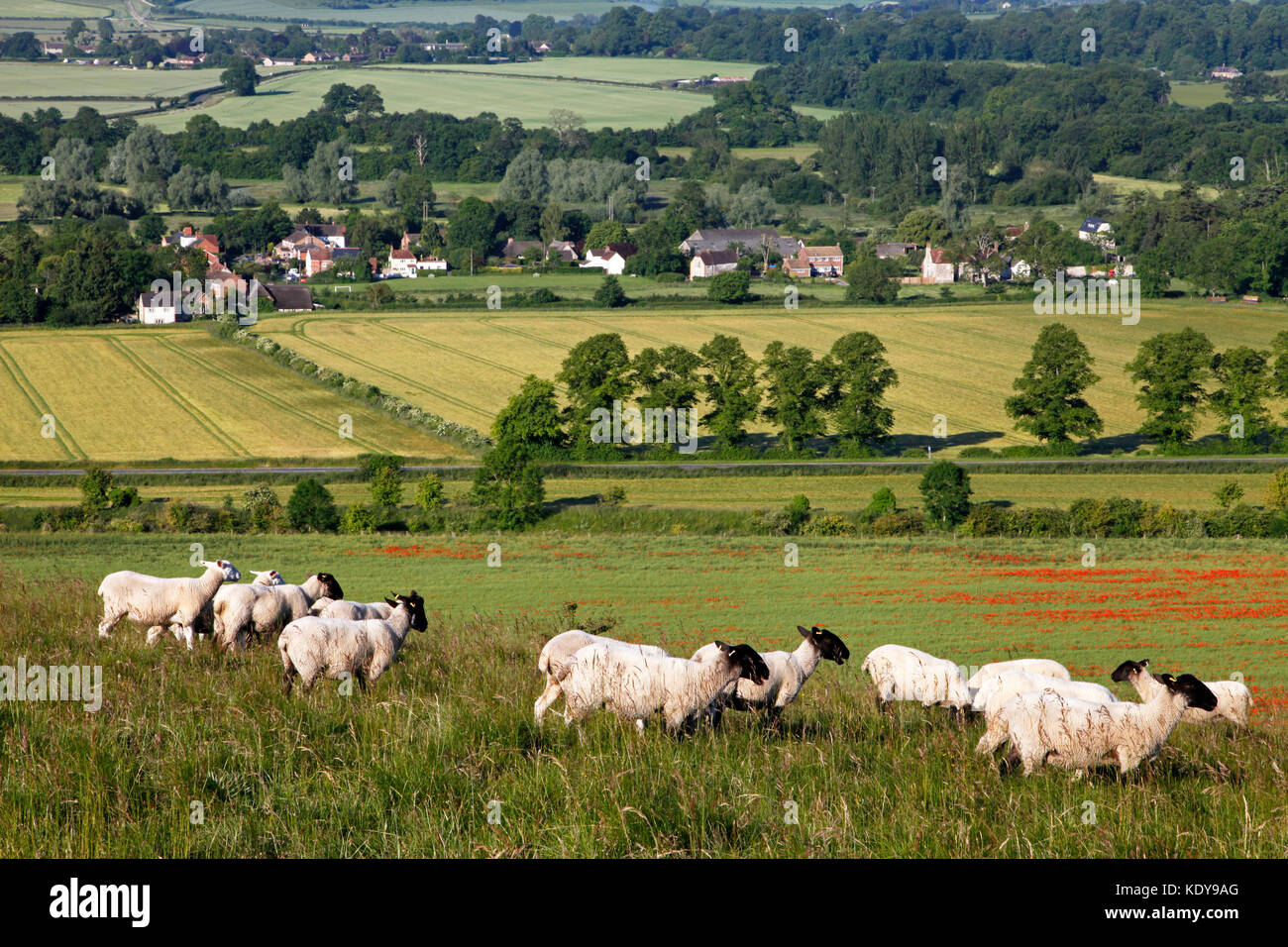 Sheep grazing on Scratchbury Hill, near Warminster in Wiltshire, overlooking the village of Norton Bavant. - Stock Image