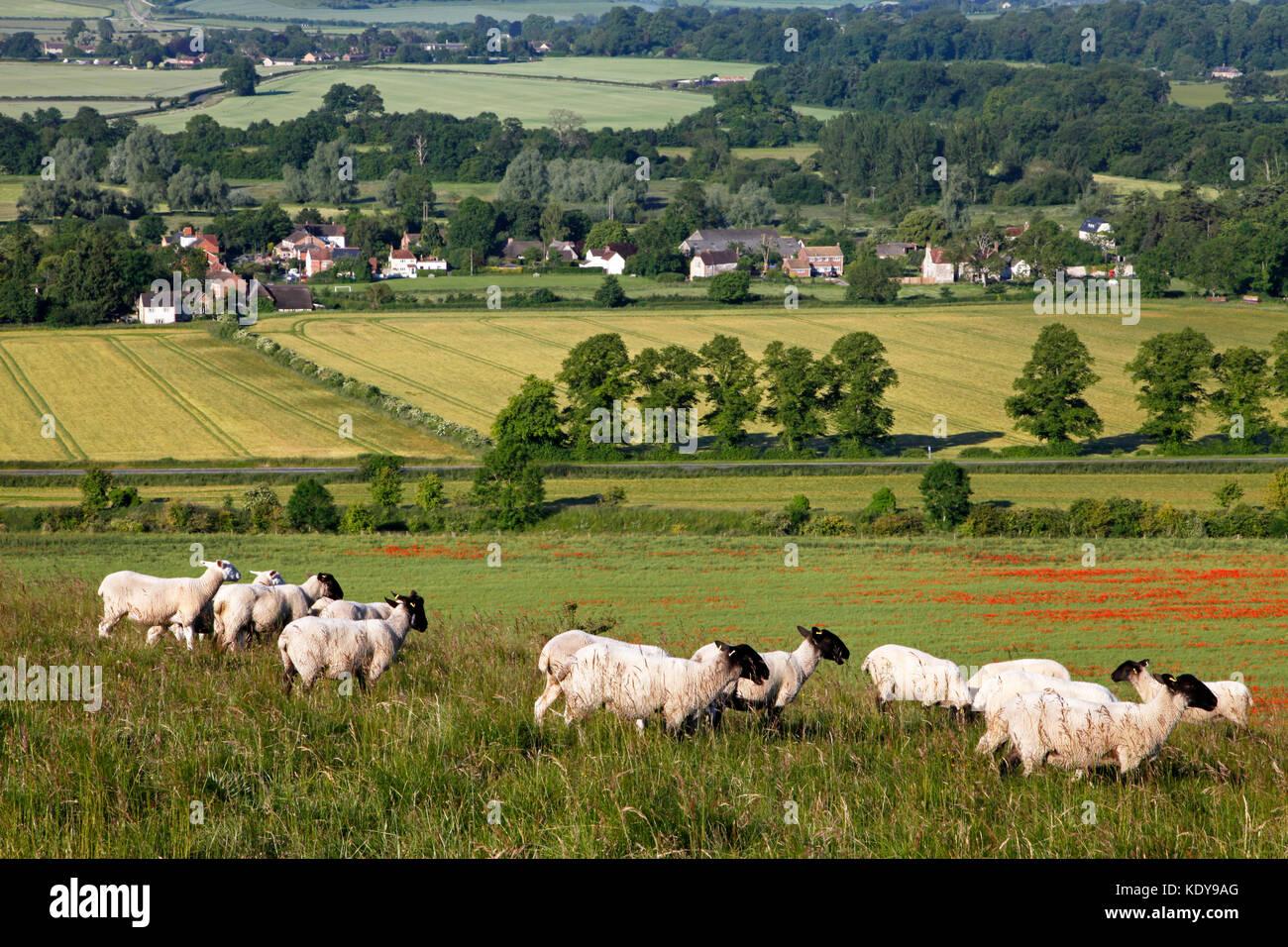 Sheep grazing on Scratchbury Hill, near Warminster in Wiltshire, overlooking the village of Norton Bavant. Stock Photo