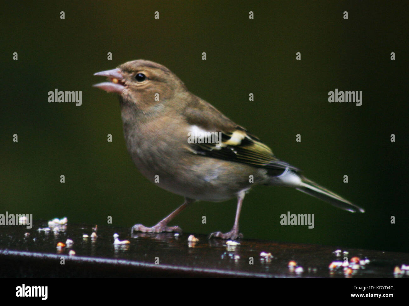 Chaffinch Feeding - Stock Image