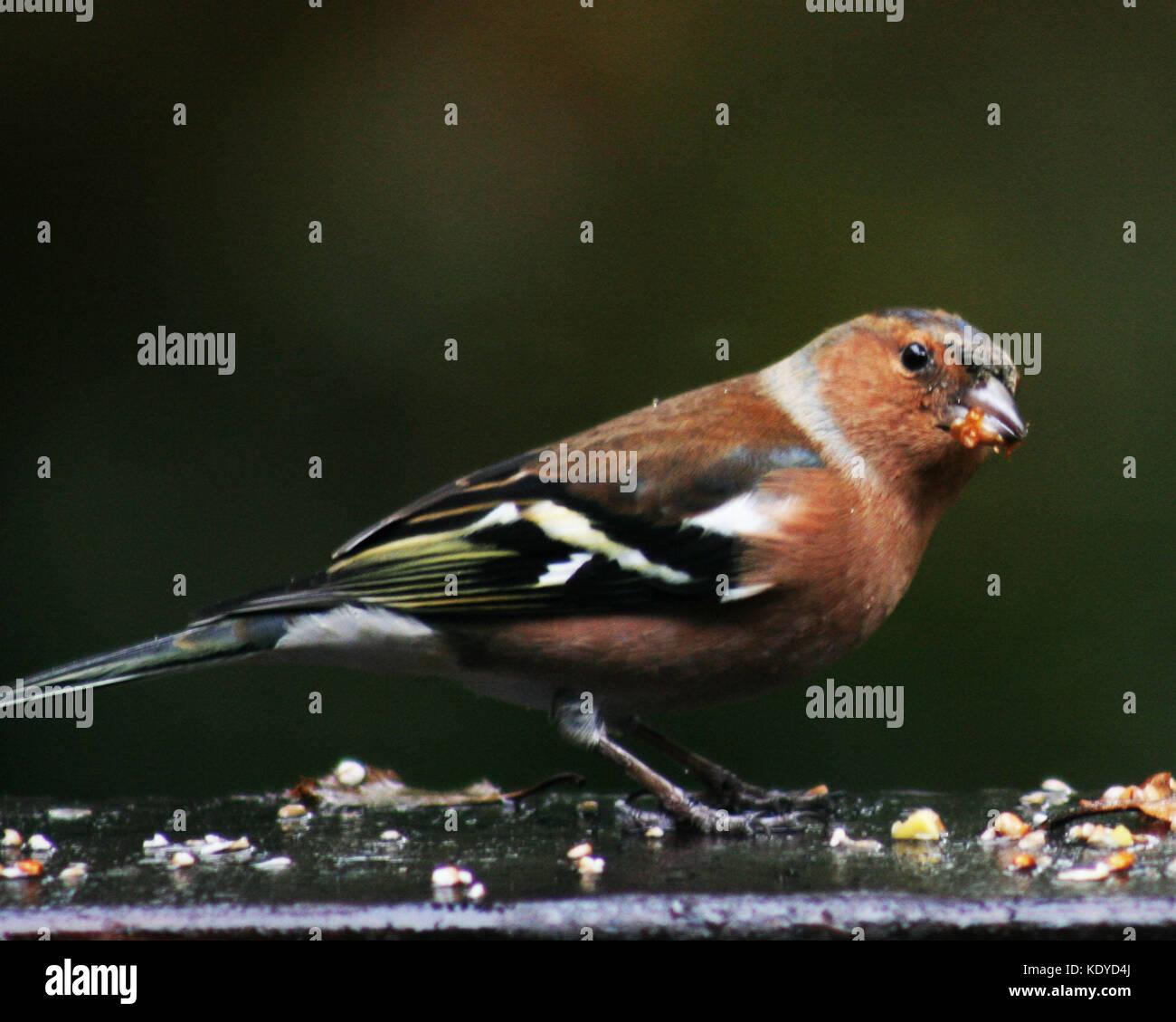 Chaffinch Feeding - Stock Image