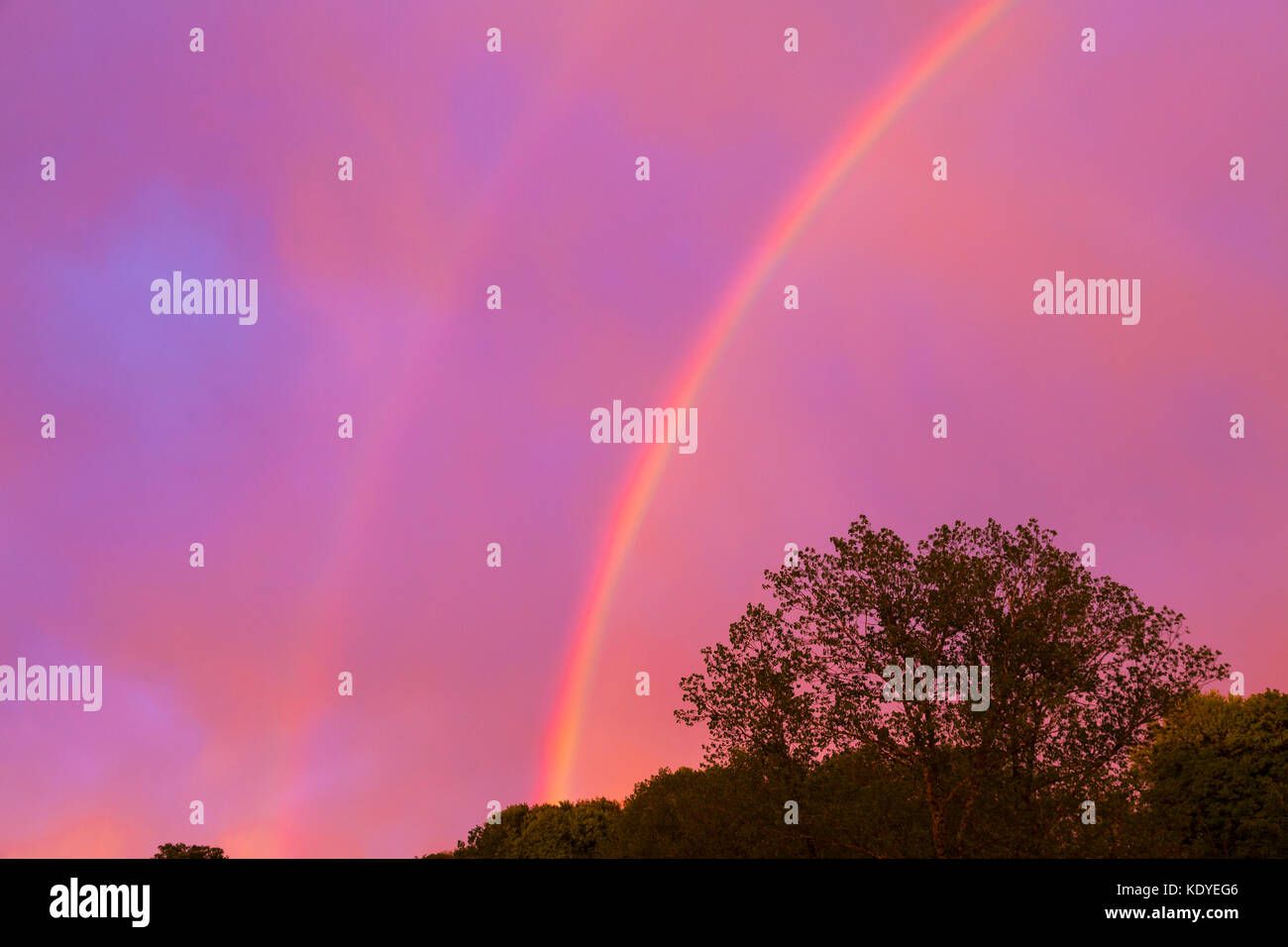 Colorful double rainbow in a dramatic pinky purple sunset sky over spring woodland at twilight with light clouds - Stock Image