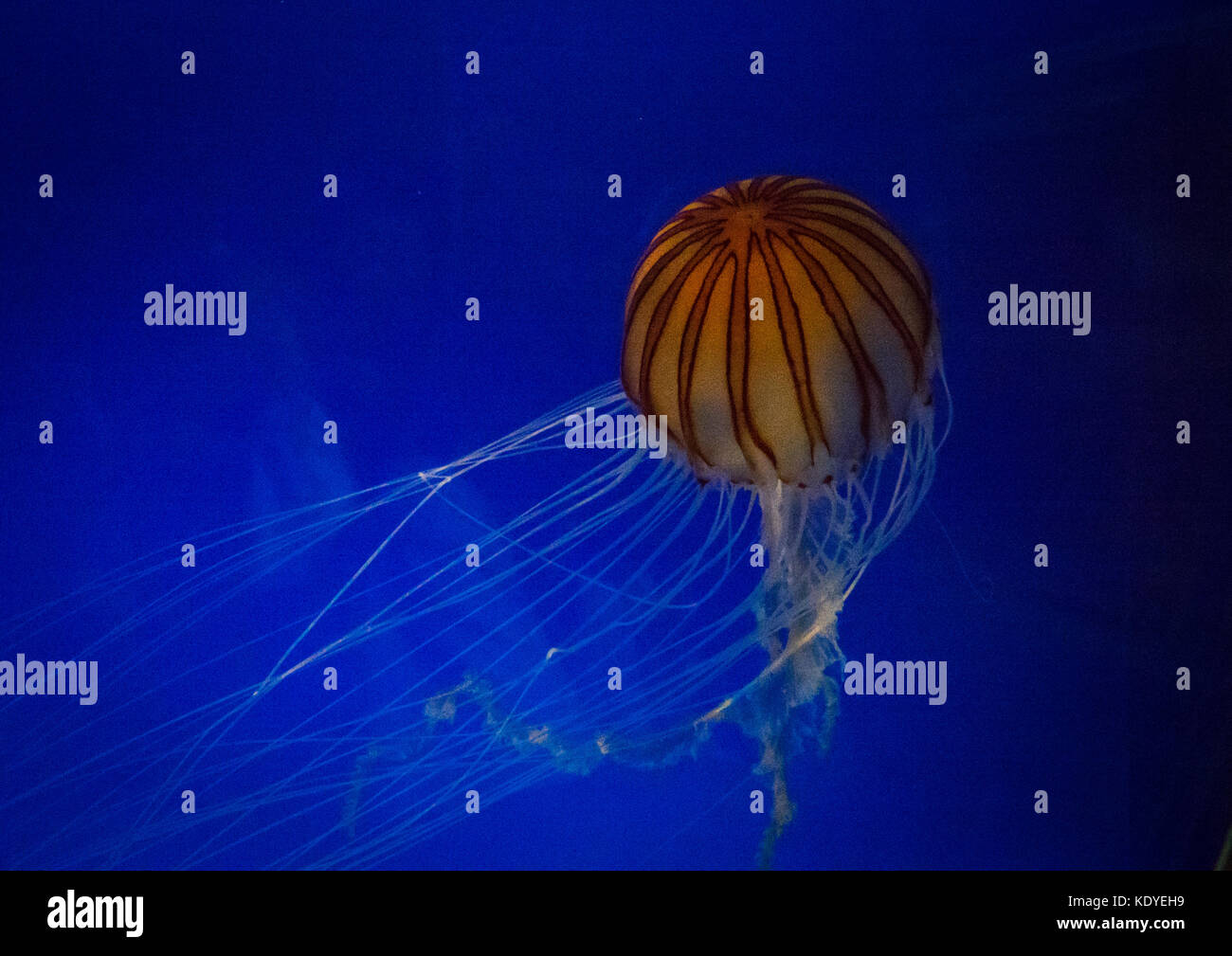 Close-Up Of Jellyfish Swimming In Aquarium, Osaka, Japan - Stock Image
