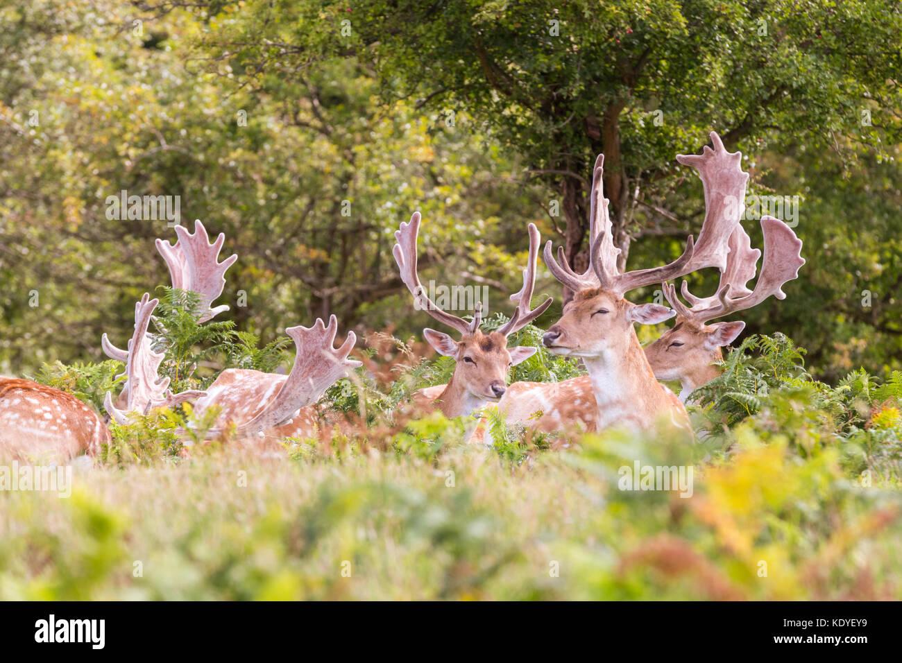 A group of wild male fallow deer bucks (dama dama) laze in the sunshine - Stock Image