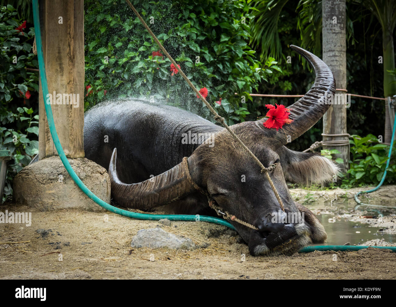 Famous buffalo from Taketomi Island having a rest after a ride with tourists, Yaeyama Islands, Okinawa Prefecture, - Stock Image