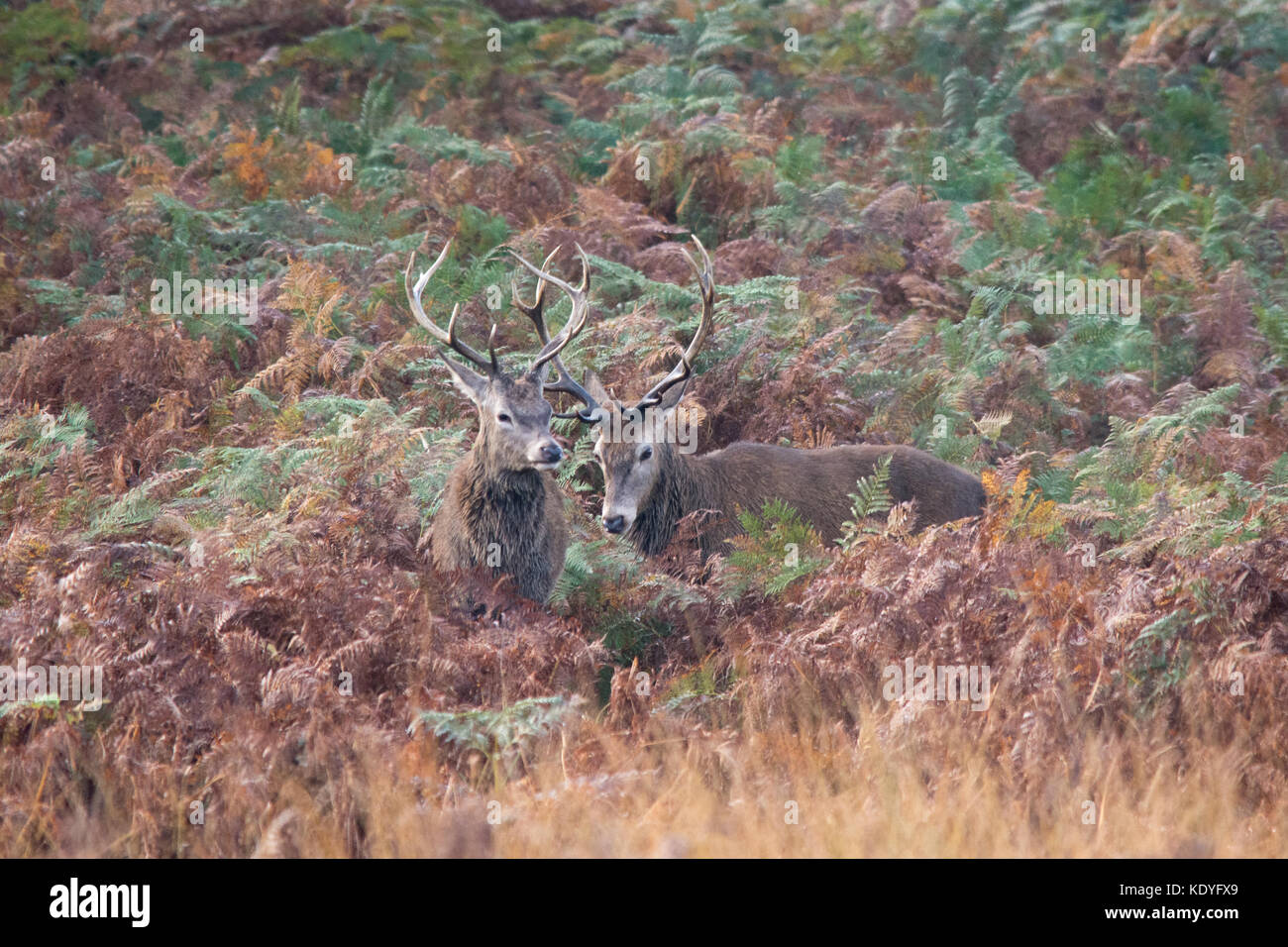 Stags Antlers Stock Photos Stags Antlers Stock Images Alamy