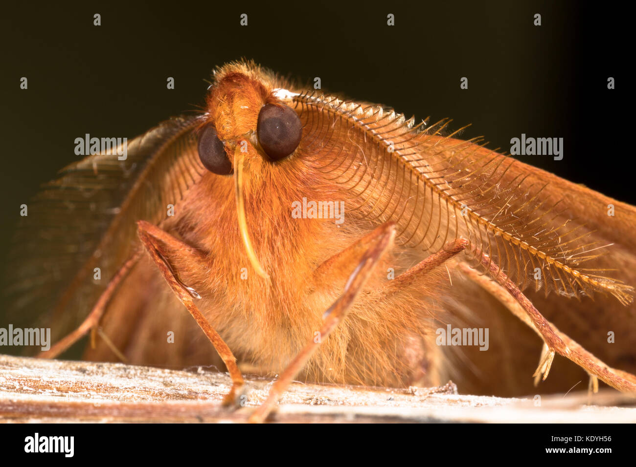 A male feathered thorn moth, showing its highly developed feathery antennae for locating females. - Stock Image