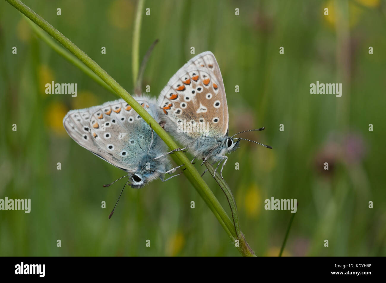 Common blue butterflies mating, once a common species this is now a rapidly declining one. - Stock Image