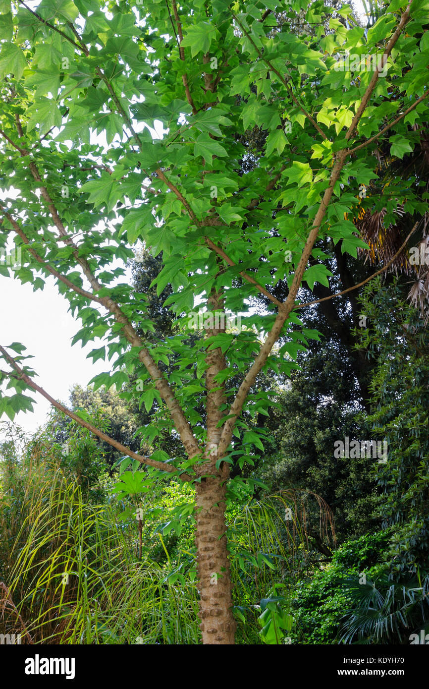 Warty,spiky stems of the hardy deciduous tree, Kalopanax septemlobus - Stock Image
