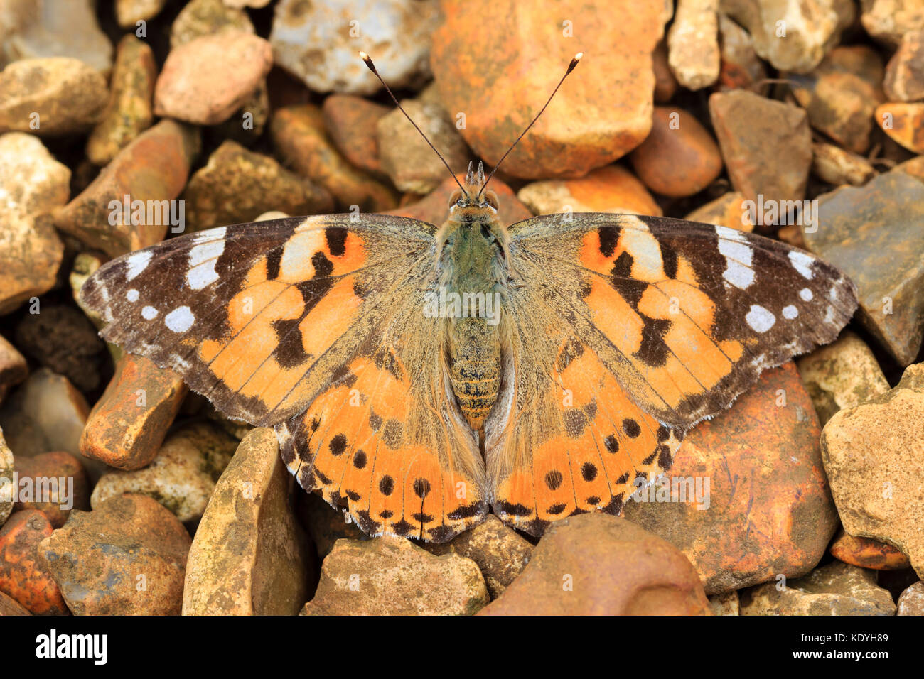 UK migrant painted lady butterfly, Vanessa cardui, camouflaged against a backdrop of pebbles - Stock Image