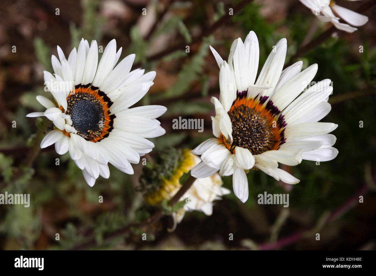 Large white daisy flowers stock photos large white daisy flowers largedark eyed white petalled flowers of the cape daisy venidium fastuosum stock izmirmasajfo