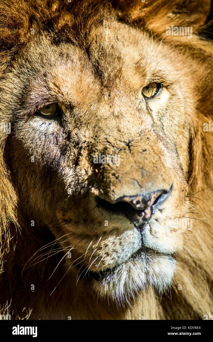 old lion portrait Stock Photo