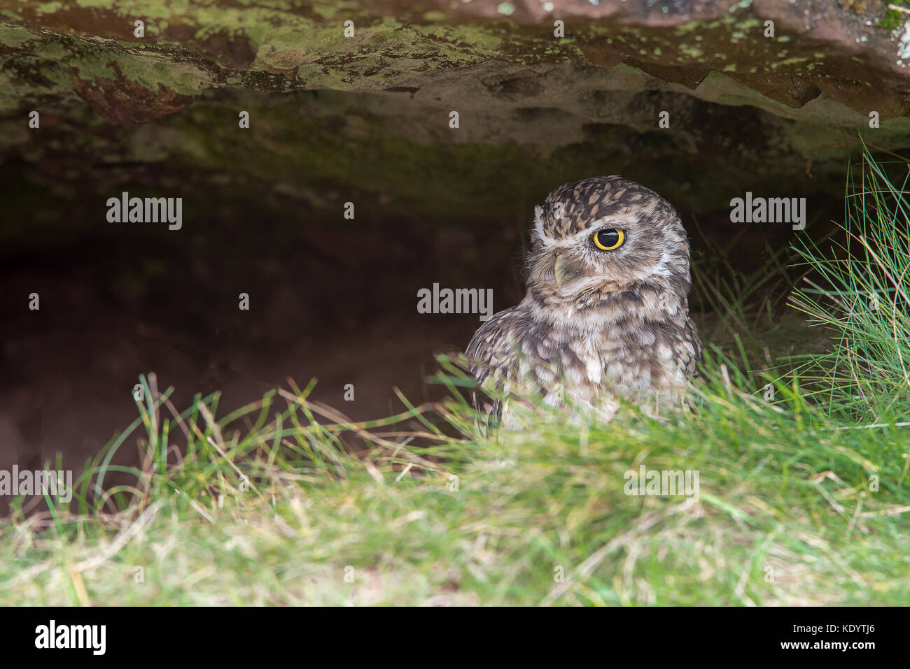 A very alert looking burrowing owl hiding under a rock and looking to the left in a natural setting - Stock Image