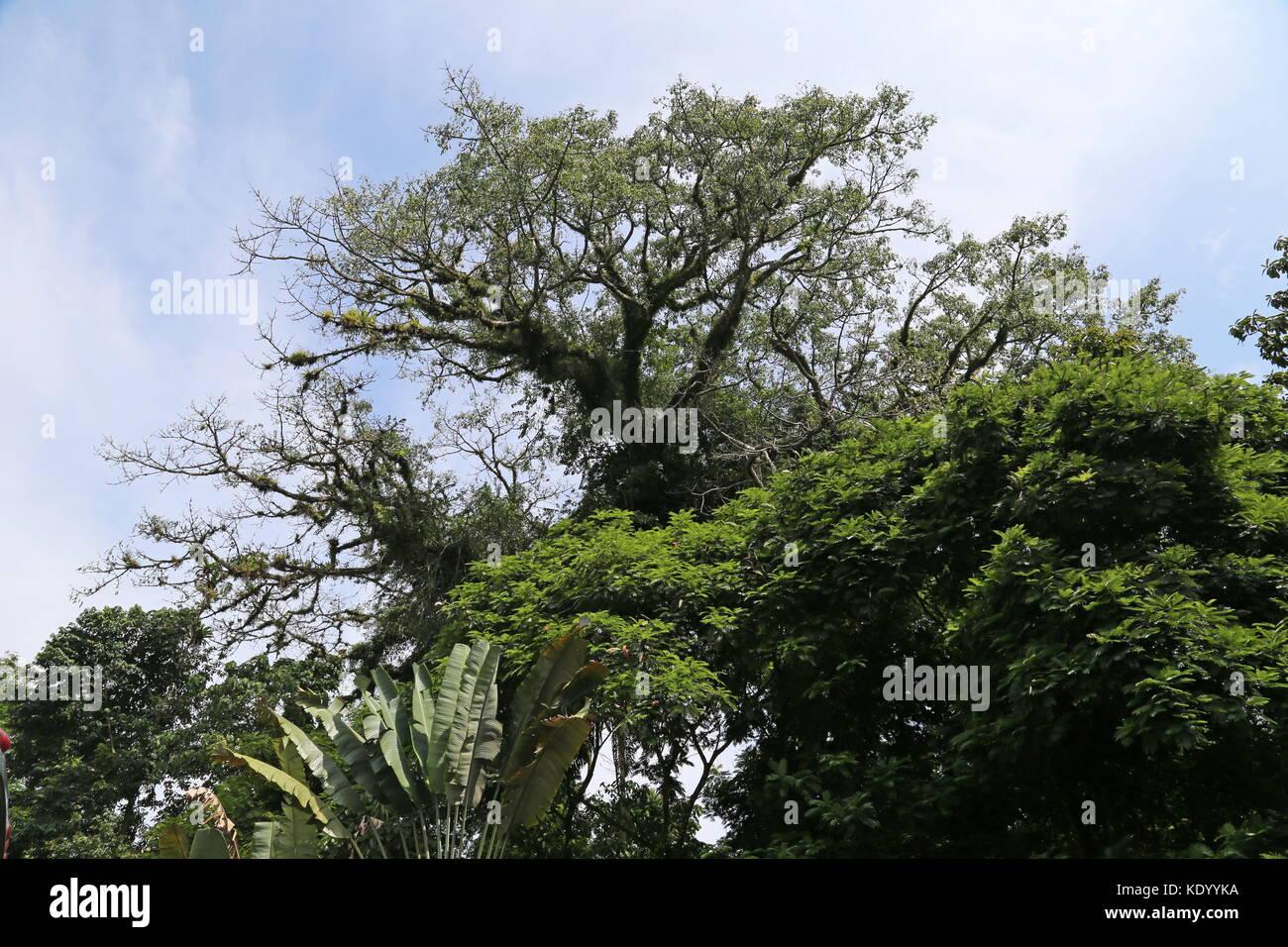 Giant Ceibo tree (Erythrina crista-galli) at El Ceibo restaurant, Ruta 32, Guápiles, Limón province, Caribbean Sea, Stock Photo