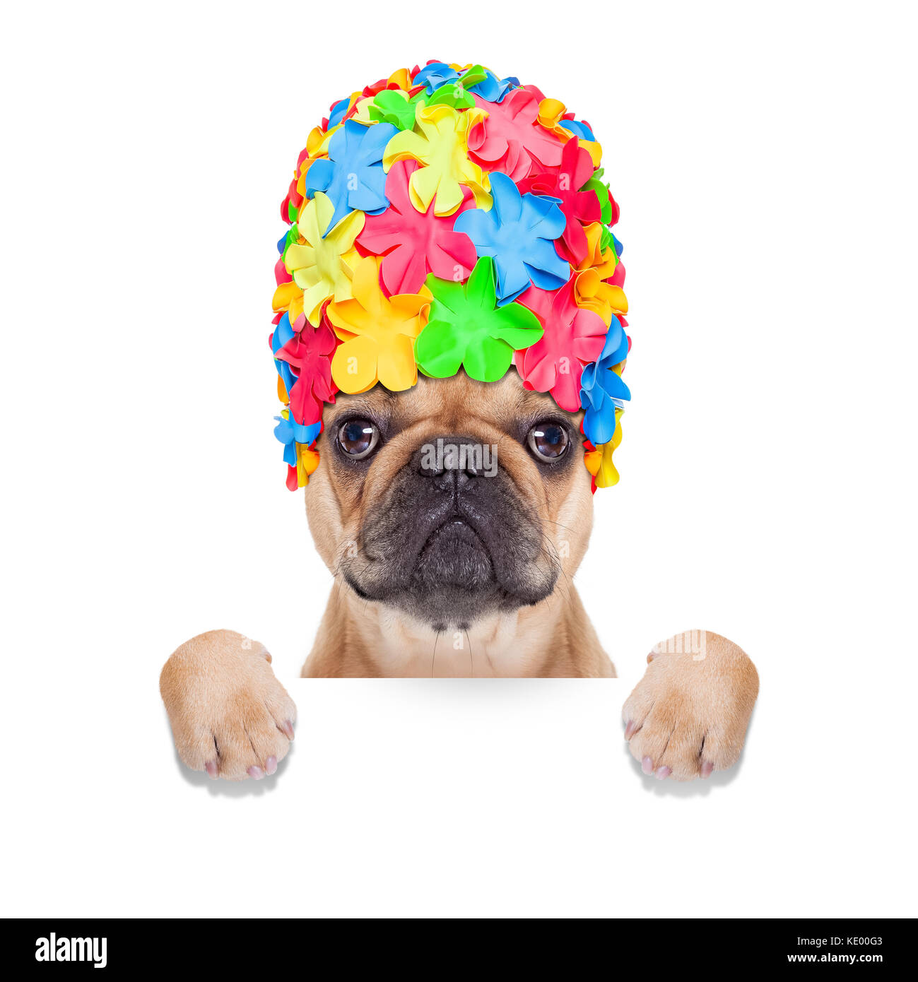 fawn french bulldog dog ready for summer vacation or holidays, behind  blank banner or placard, isolated on white - Stock Image