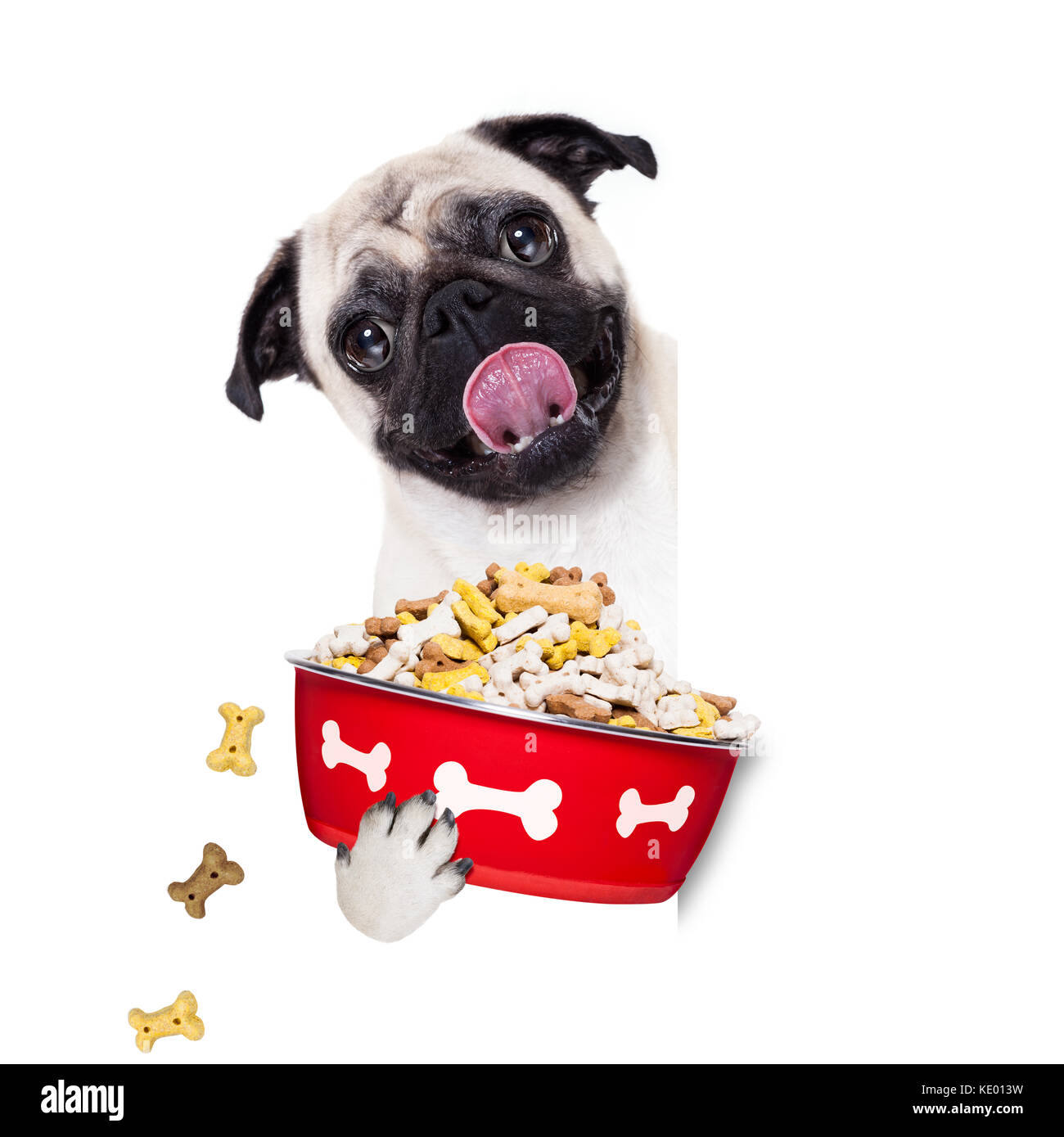 hungry  pug  dog holding food bowl and licking with tongue, isolated on white background - Stock Image