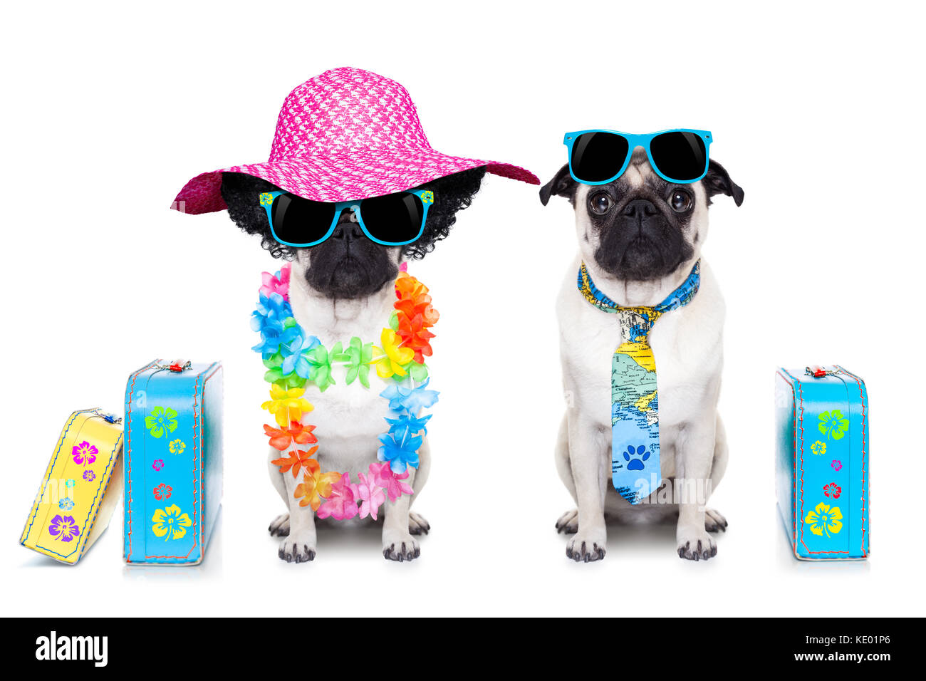 couple of pug dog ready to depart for summer vacation with sunglasses and luggage - Stock Image