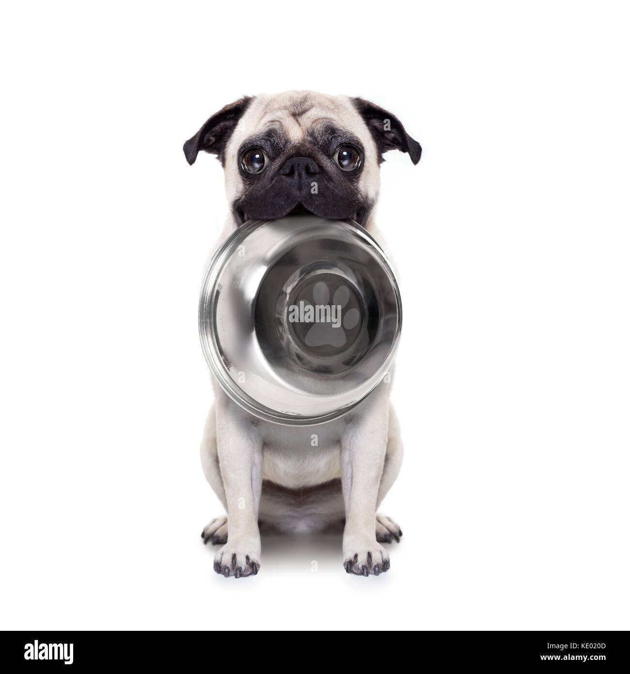 hungry  pug dog holding bowl with mouth , isolated on white background - Stock Image