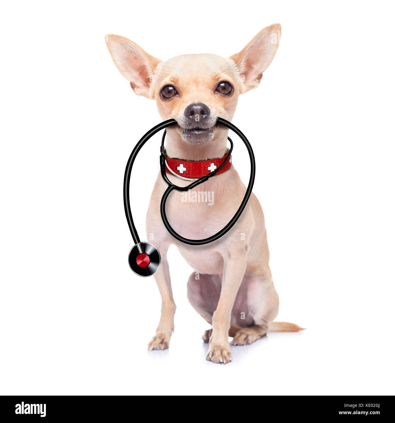 chihuahua dog as a medical veterinary doctor with stethoscope,isolated on white background - Stock Image
