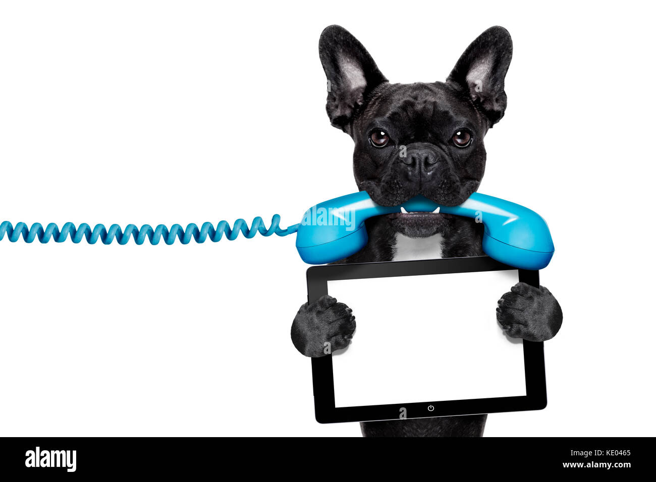 French bulldog dog holding a old retro telephone and a blank tablet french bulldog dog holding a old retro telephone and a blank tablet pc computer ebookisolated on white background voltagebd Choice Image