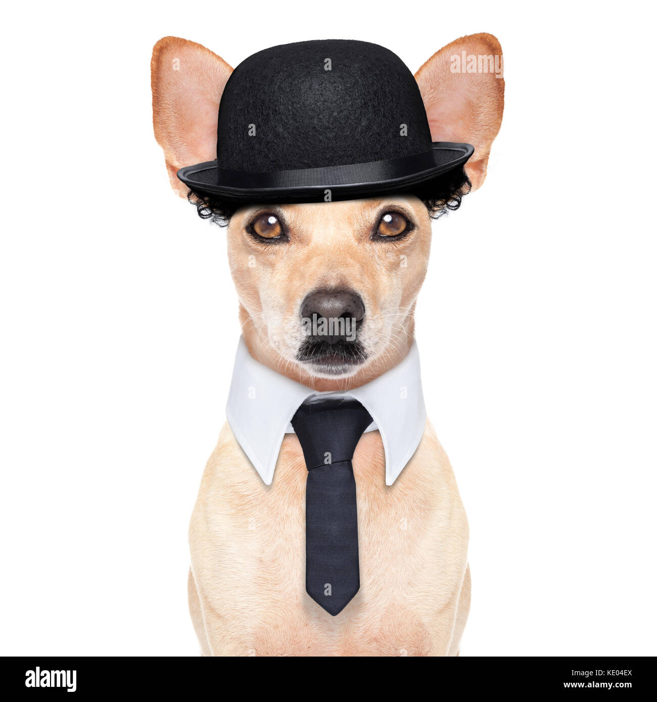 comedian classic dog terrier, wearing a bowler hat ,black tie and mustache, isolated on white background - Stock Image