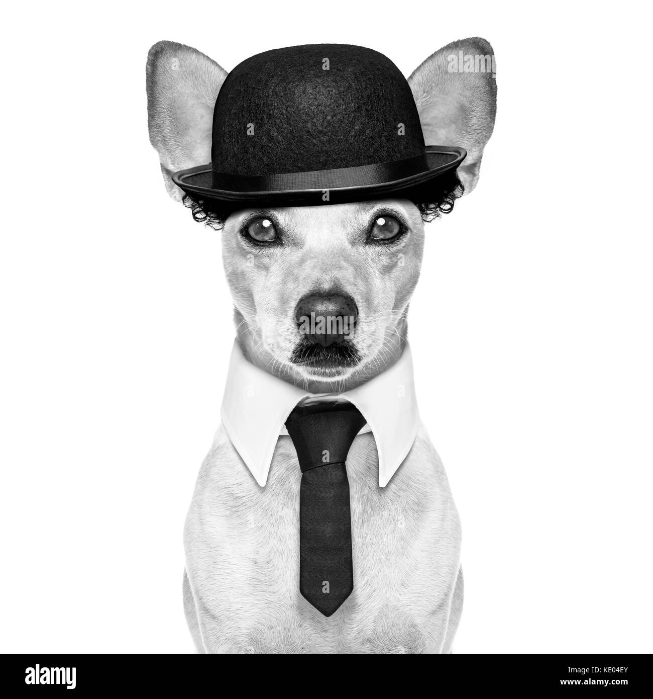 comedian classic dog terrier, wearing a bowler hat ,black tie and mustache, isolated on white background in black - Stock Image