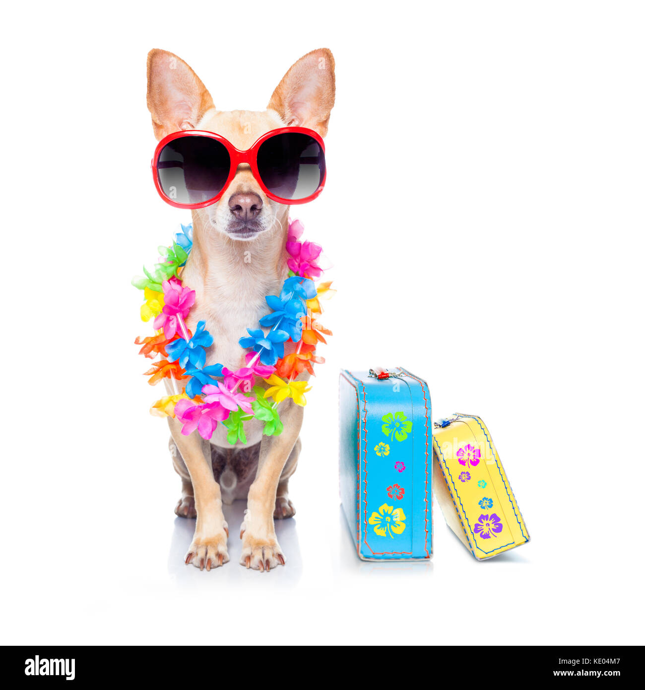 chihuahua dog with bags and luggage or baggage, ready for summer vacation holidays at the beach, isolated on white - Stock Image