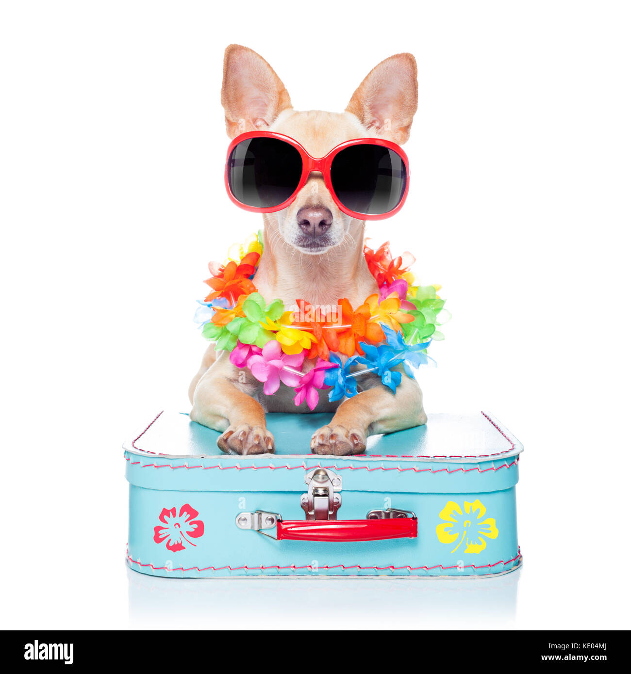 chihuahua dog with bags and luggage or baggage, ready for summer vacation holidays at the beach,isolated on white - Stock Image