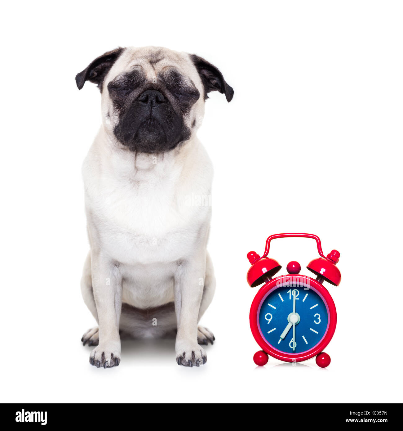 pug  dog  resting ,sleeping or having a siesta  with alarm  clock ,isolated on white  background - Stock Image