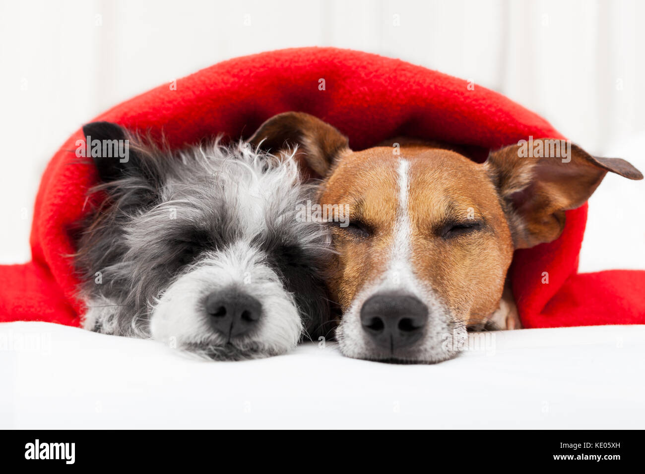 couple of loving dogs in bed close together - Stock Image