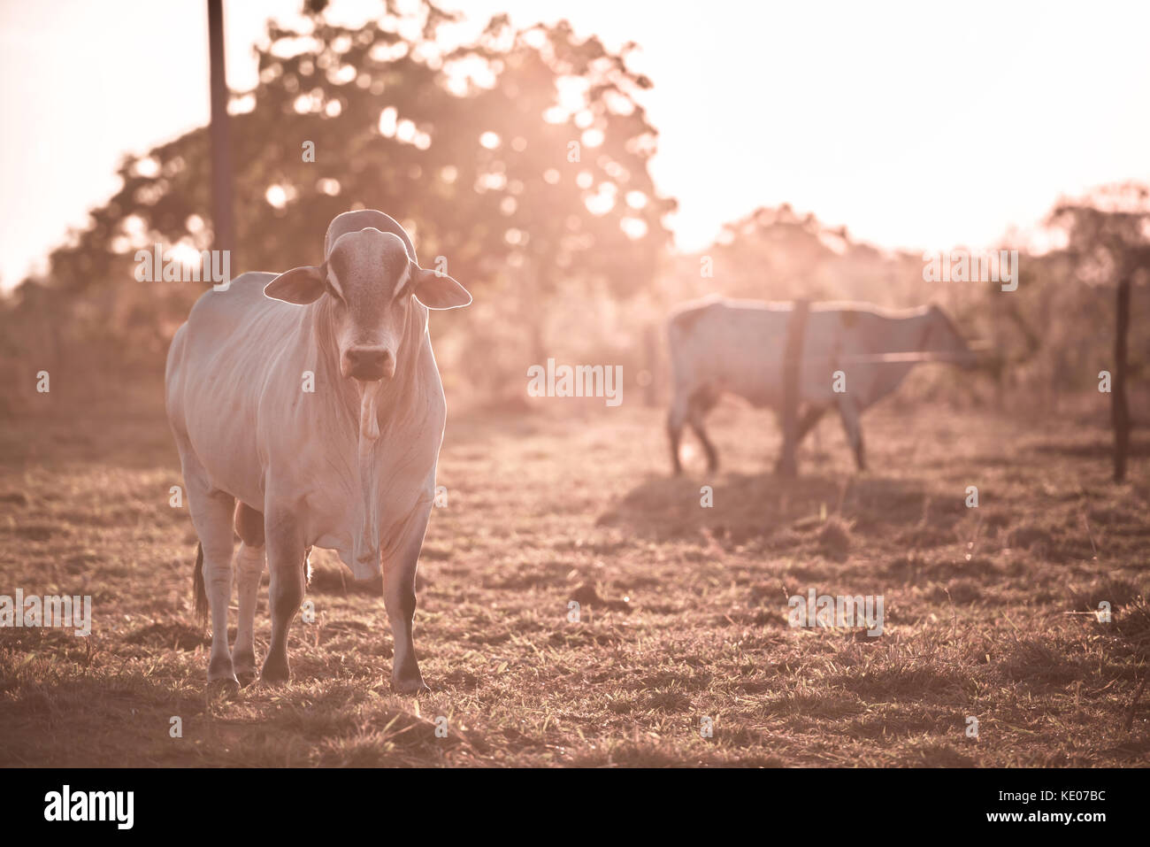Breeding cattle outdoors with the sunset in the background. - Stock Image