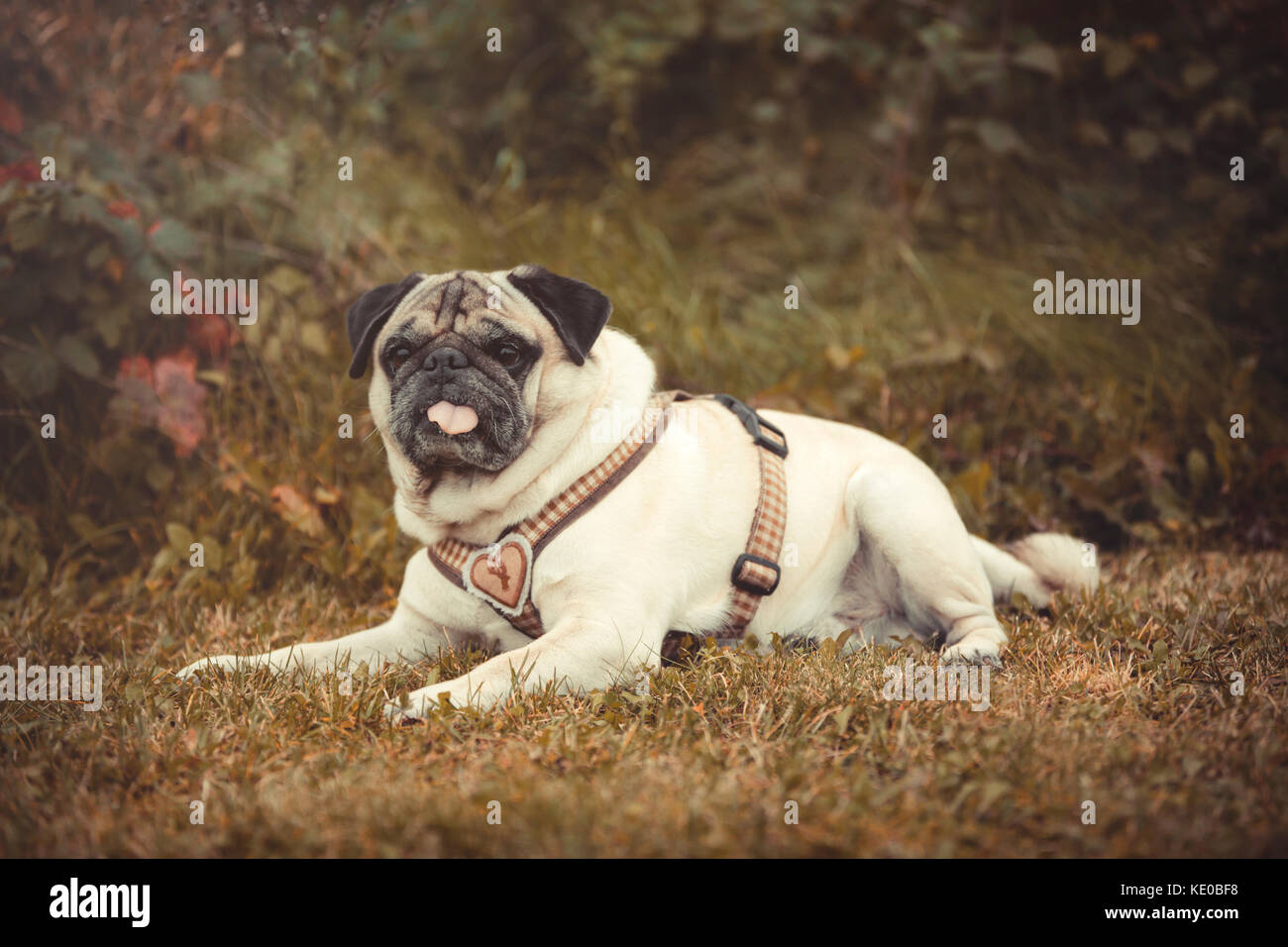 Portrait of a Pug dog outdoors in autumnal landscape - Stock Image