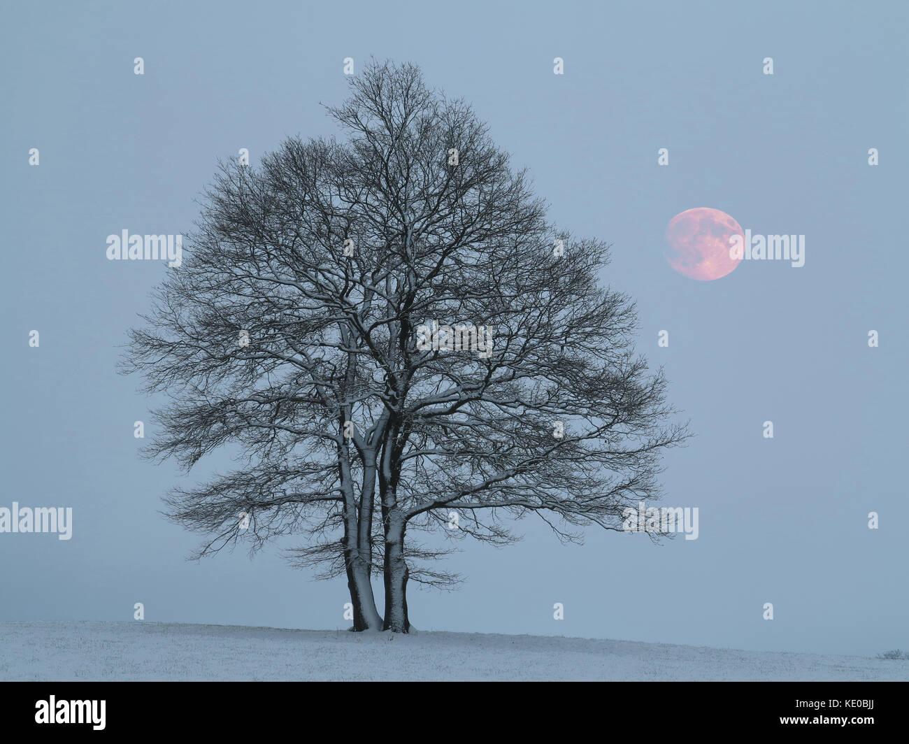 bald oak trees with full moon near sundern-hellefeld, hochsauerlandkreis, hochsauerland, sauerland, nrw, germany - Stock Image