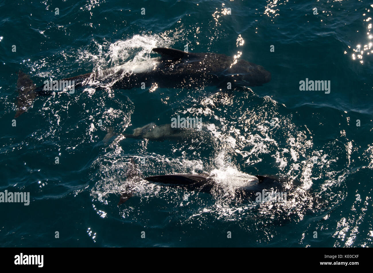 Long-finned Pilot Whales - Stock Image