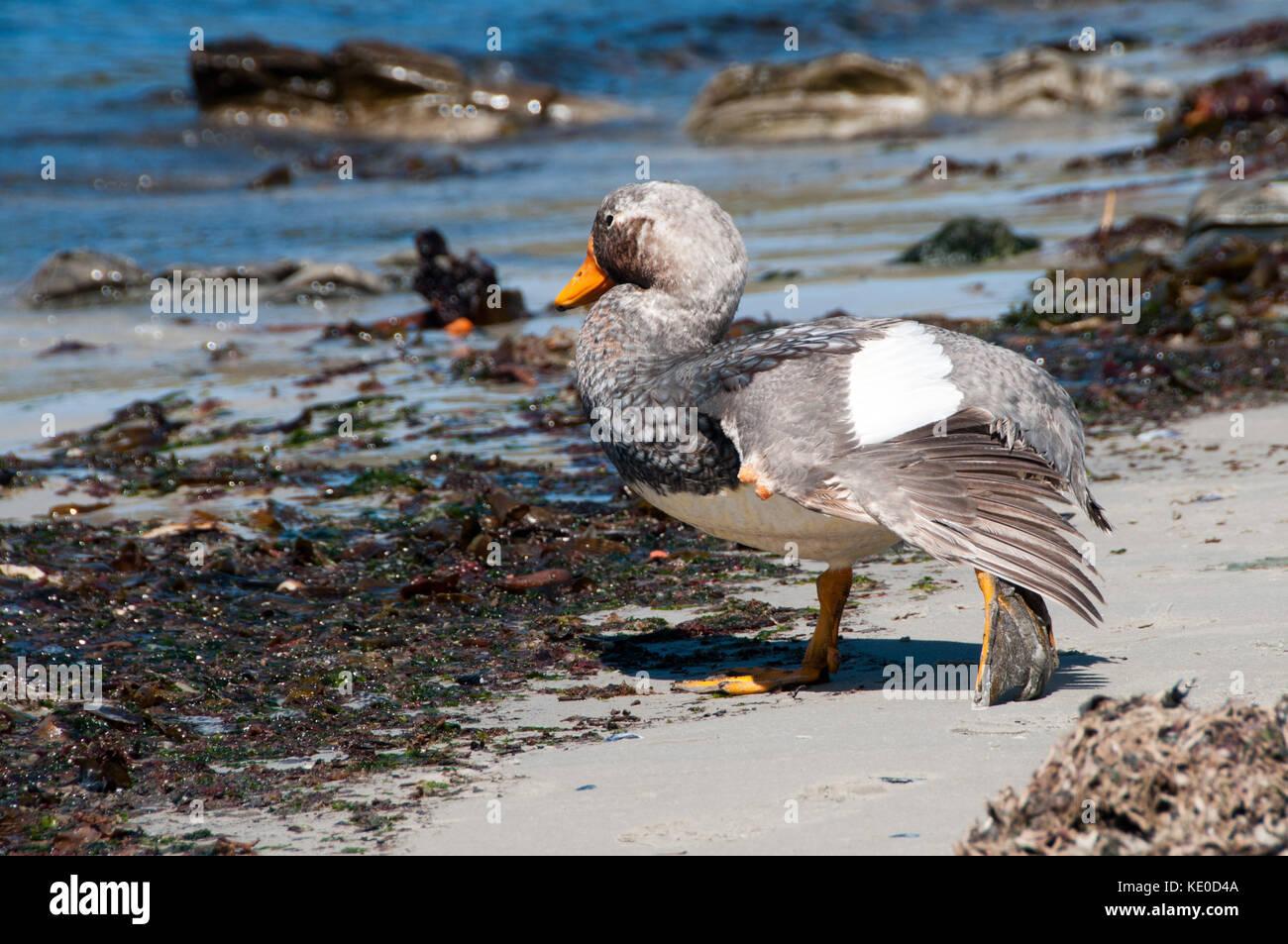 Flightless Steamer Duck - Stock Image